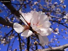 Zorionak Argiñe (kirru11) Tags: cumpleaños argiñe flordelalmendro cielo ramas quel larioja españa kirru11 anaechebarria panasonicdmcfx7