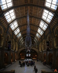 IMG_1662_stitch (AndyMc87) Tags: blue whale skeleton natural history museum london stitched ice uk indoor sightseeing travel holiday bluilding architecture canon eos 6d 1740 l