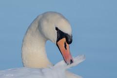 So delicate! (Linda Martin Photography) Tags: cygnusolor dorset longhamlakes muteswan wildlife birds uk nature coth naturethroughthelens alittlebeauty ngc coth5 npc specanimal