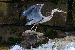 Great Blue Heron (Astral Will) Tags: bird heron greatblueheron wing hww wingwednesday current fishing wings