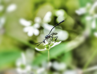 Gasteruption sp. - Gasteruption Wasp (Latreille, 1796)