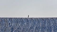 The Runner (picsessionphotoarts) Tags: nikonphotography nikond750 nikon bayern bavaria deutschland germany winter landscape schnee snow franken franconia frankenhöhe franconianheights himmel feld abstract abstrakt running therunner runner minimal minimalism minimalistisch