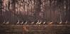 STOP the Car!! (TuthFaree) Tags: 7dwf birds crane sandhillcrane forest feeding bird nature ga swga georgia worthcounty threatened migration