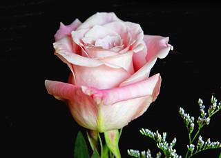 A Birthday Rose