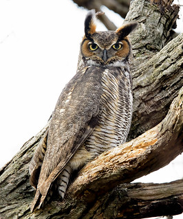 Great Horned Owl casts that stare that makes many a prey shudder. The GHO is considered one of the most dangerous birds in the world.
