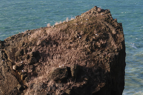 SWCP: sea birds - nr Gunver Head