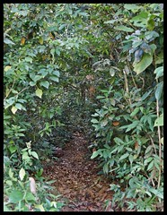 Animal path in shola forest (Indianature st2i) Tags: valparai anamalais anamallais anamalaitigerreserve westernghats tea shola rainforest nature indianature 2018 january february tamilnadu india life wildlife plantation forest people estate