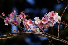 櫻花 - Cherry blossoms (basaza) Tags: 櫻花 canon 760d dxo