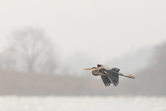 Great blue heron (Nature as Art Photography) Tags: birds middlecreek pennsylvania wildlifemanagementarea