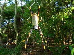 Hanging around (Golden Orb Weaver spider - top) (jo.elphick) Tags: bawleypoint nsw australia goldenorbweaver spider australiannative yellow black