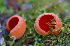 Sarcoscypha cocinea (Scarlet Elf Cup) (sdonaldson84) Tags: fungi nature natural edible uk plant green red orange scarlet elf cup