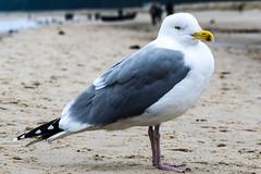 Seagull (KPPG) Tags: seagull möwe ostsee bird vogel 7dwf animal tier fauna sand strand beach