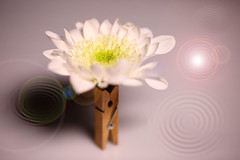 flower macro 25-02-2018 002 (swissnature3) Tags: macro flowers stilllife light