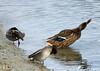 Brrrr quel froid de Canard ! :-) (jean-daniel david) Tags: oiseau oiseaudeau canard colvert sarcelle sarcelledhiver lac lacdeneuchâtel yverdonlesbains plage trio nature eau reflet