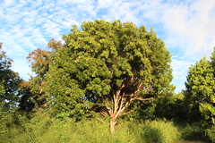 Swietenia mahagoni tree (J. B. Friday) Tags: swietenia swieteniamahagoni meliaceae mahogany