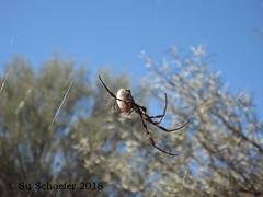 Spider (1 of 2), near Gilgandra (Su_G) Tags: sug 2018 spider bush neargilgandra outbush outback australia gilgrandra nsw gilgandransw creepycrawlie insect spiderweb closeup nature bokeh