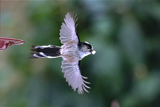 Long-tailed in flight