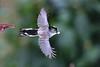 Long-tailed in flight (stellagrimsdale) Tags: bird birdphotography birding birdeating birdinflight eating bokeh longtailedtit wings feathers inflight flight