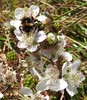 bumble bee on blackberry (jeaniephelan) Tags: bumblebee bee insect blackberry