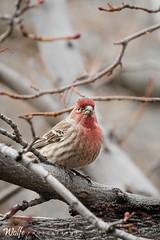 Red Chickadee