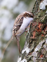 Tree Creeper digging deep from the main hide