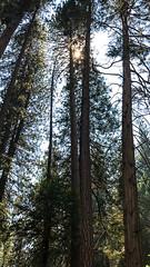 Sequoias IX (frantyky) Tags: eeuu usa naturalpark costaoeste westcoast eastcoast trees paisaje yosemite viaje california parquenatural trip sequoias ladscape árboles vacaciones naturaleza