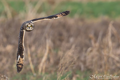 90 Degree Angle - Short-Eared Owl (Mitch Vanbeekum Photography) Tags: shortearedowl owl mitchvanbeekum mitchvanbeekumcom canon14teleconvertermkiii canoneos1dx canonef500mmf4lisiiusm ny newyork blackdirtregion orangecounty flight inflight flying fly field grass green headon