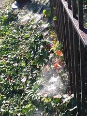 09-23-17 Dayton 07 spider webs (Chicagoan in Ohio) Tags: dayton morningglories spiderwebs