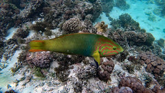 Wrasse, Green Moon (Terminal phase, Male) (Insequent) Tags: wrasseslabridae lordhoweisland newsouthwales australia