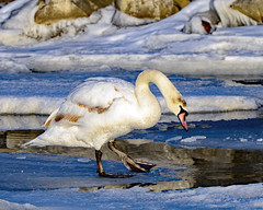 Mirror, Mirror..... (MoodyGoat) Tags: swan ibsp winter il ice lakemichigan