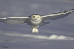 Harfang des neiges mâle juvénile - Snowy Owl Juvenile male (Vicky A.) Tags: harfangdesneiges snowyowl harfang snowy owl neige bird oiseau