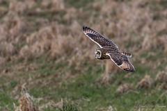 Cambridgeshire SEO (budgiepaulbird) Tags: seo canon7dmark2 100400mark2 owls cambridgeshire fens