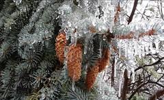 Toronto icestorm acorn (boitchy) Tags: acorn icycoat plant canada canadianscenery ontario toronto twigs icestorm ice winter light icicles dof bokeh freeze cold scenery publicdomain