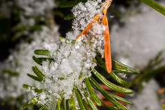 Macro d'une branche de sapin enneigé (Patrick Boily) Tags: neige snow flocon flakes sapin macro photo shot