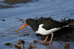 Lunchtime (Chris B@rlow) Tags: haematopusostralegus oystercatcher shorebird wader nature wildlife bird birds budlebay northumberland canon7dmarkii sigma150600sport blackandwhite sea seashore beach worm