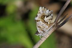 Water Bronze or Water Blue - Cacyreus tespis tespis - SA (4) (ailognom2005) Tags: waterbronze waterblue cacyreustespistespis southafrica butterflies butterfliesmothsandcaterpillars insects insect
