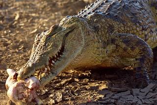 Crocodiles are the perfect predators.