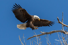 Bald Eagle approach and landing - 21 of 27