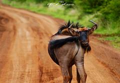 WILDEBEEST_SUSPICIOUS_KRUGER_PARK_SOUTH_AFRICA (paulomarquesfotografia) Tags: paulo marques gnu wildebeest kruger park krugerpark south africa sony a230 sal 75300 wild jungle suspicious desconfiado animais animal