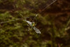 DSC_0563 (Hachimaki123) Tags: animal arachnid arácnido araña spider くも 蜘蛛 クモ 動物 日本 japan 伏見稲荷大社 fushimiinaritaisha 京都 kyoto トンボ dragonfly libélula 虫