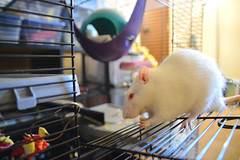 Snack time (radargeek) Tags: rat pet cage albino white family 2018 february