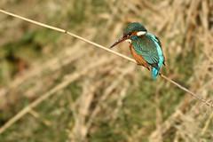 IJsvogel - Alcedo atthis - Kingfisher (merijnloeve) Tags: ijsvogel alcedo atthis kingfisher wassenaar katwijkseweg eo zh gemeente lentevreugd bird ijsvogels kingfishers winter zuidholland