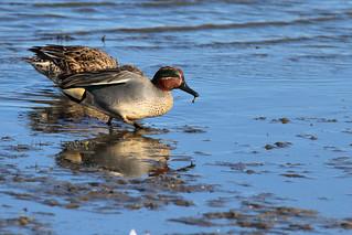 Teal ducks feeding in the mud