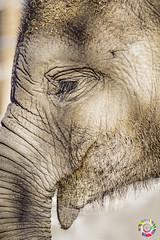 Big foot (gatomotero) Tags: olympusomdem1 panasonic100300mm elefante trompa mirada naturaleza madrid invierno diciembre2017