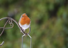 Can You Repeat That? (Luzon Jim) Tags: robin bird tweet avian nikon camera outdoor species wildlife nature garden feed reflect image wing eye life month