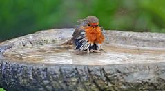 Please pass me a towel... (Ian A Photography) Tags: birds birdlife birdwatch britishbirds gardenbirds nature nikon robin ukbirds ukwildlife wildlife naturebynikon