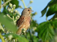 Linnet (Peanut1371) Tags: linnet bird finch