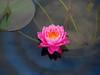 Nymphaea 'Siam Dahlia' Hardy Waterlily บัวฝรั่งสัญชาติไทย 'สยามดาเลีย' 10 (Klong15 Waterlily) Tags: siamdahlia nymphaea thailandwaterlily pinkwaterlily waterlily waterlilies สยามดาเลีย บัวฝรั่งสัญชาติไทย flowerlover lotusflower บัวฝรั่งสัญชาติไทยสยามดาเลีย ดอกบัว บัวฝรั่ง