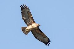 Red-tailed Hawk (Garrett Lau) Tags: losgatos redtailedhawk vasonalake birds