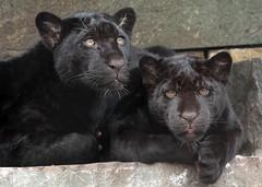 jaguar artis BB2A8976 (j.a.kok) Tags: jaguar jaguarcub jaguarwelp pantheraonca zwartejaguar blackjaguar rica artis animal southamerica zuidamerika mammal zoogdier dier kat cat predator